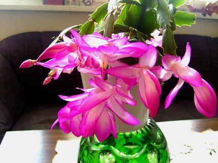 FOTKA - První květy vánočního kaktusu,,