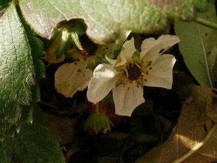 FOTKA - poslední kvítky jahody