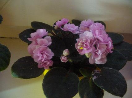 FOTKA - Plnokvětá fialka