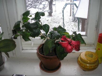FOTKA - Moje čínská růže