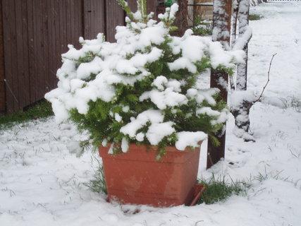 FOTKA - Zasněžený stromeček