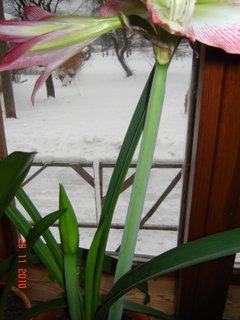 FOTKA - amarylis dalši květ