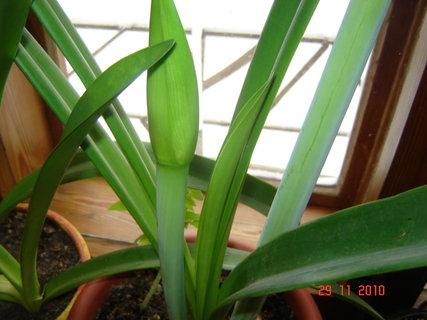 FOTKA - amarylis dalši květ1