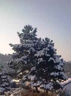 FOTKA - Borovice pod peřinou
