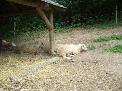 FOTKA - Ovce valaška