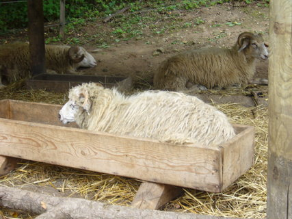 FOTKA - Ovce valaška.