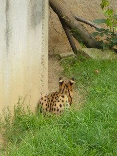 FOTKA - Serval