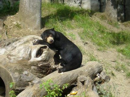 FOTKA - Medvěd malajský..