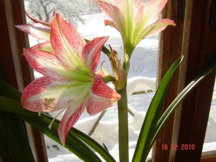FOTKA - květ amarylky