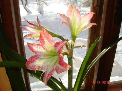 FOTKA - květ amarylky1