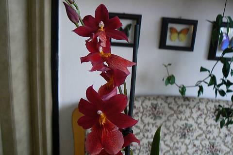 FOTKA - orchidej 10