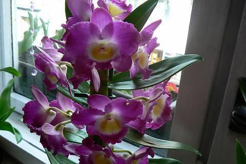 FOTKA - orchidej 11