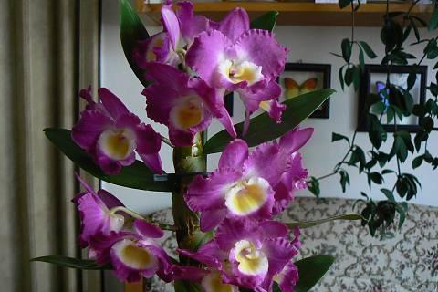 FOTKA - orchidej 12