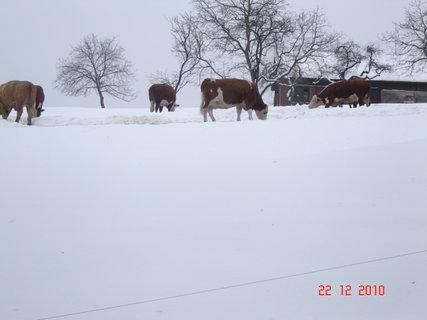 FOTKA - zimní pastvina