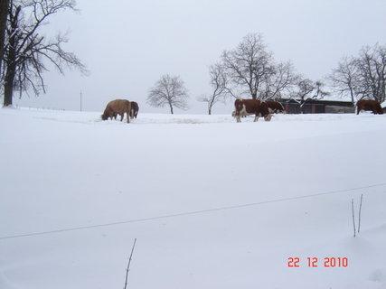 FOTKA - zimní pastvina2