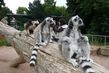 ZOO Praha -Troja, lemur se rd fot s nvtvnky
