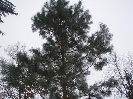 FOTKA - borovice