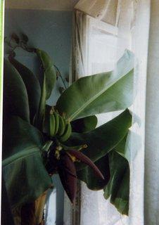 FOTKA - toto sem vypěstoval, bananovnik