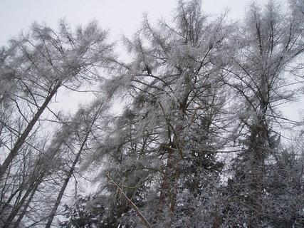 FOTKA - stromy na hrázi ..