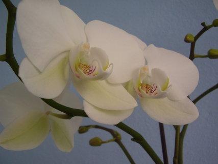 FOTKA - orchidej