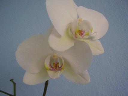 FOTKA - orchidej.