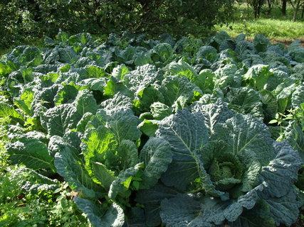 FOTKA - zelenina