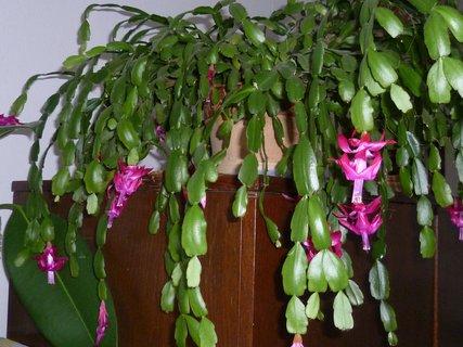FOTKA - vánoční kaktus