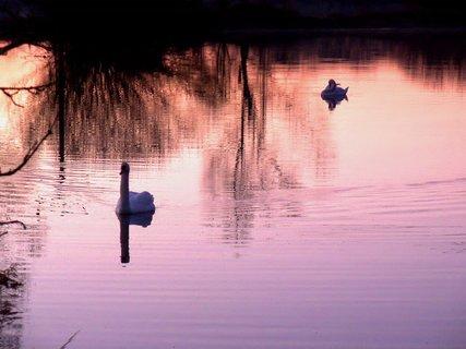 FOTKA - Labutě v západu slunce