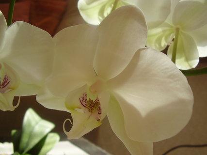 FOTKA - orchidej......