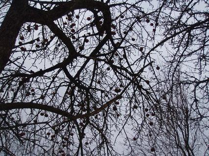 FOTKA - jablka na stromě
