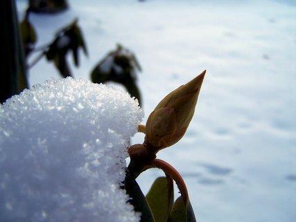 FOTKA - Rododendron vyhlíží jaro