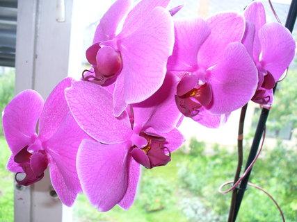 FOTKA - orchidea1