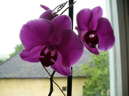 FOTKA - orchidea2