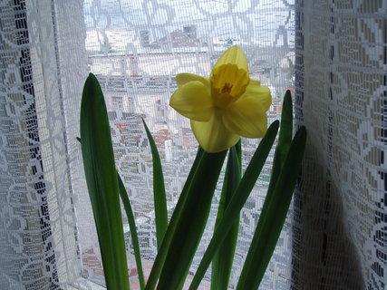 FOTKA - narcis za oknem