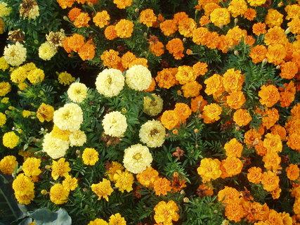 FOTKA - žluté a oranžové afrikány