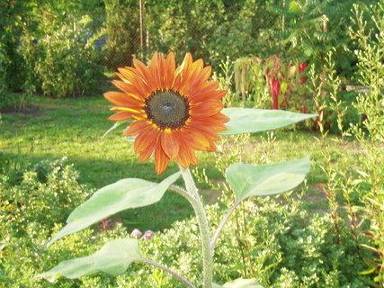 FOTKA - slunečnice .....