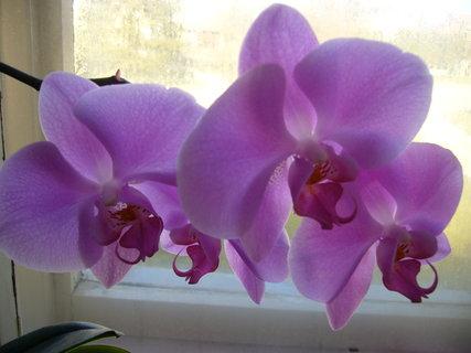 FOTKA - Orchidej *