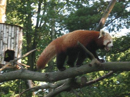 FOTKA - Červená panda