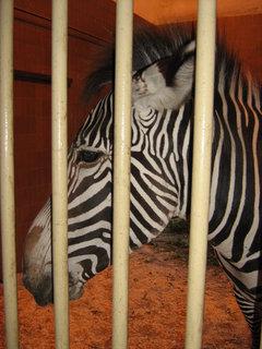 FOTKA - Zebra