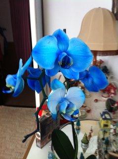 FOTKA - Modrá orchidej asi neexistuje, ale já jí dostala