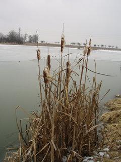 FOTKA - rybník u kamaráda - rákos