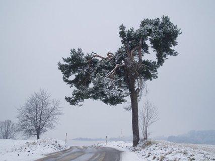 FOTKA - Borovice na cest� do Nov�ch Hrad�