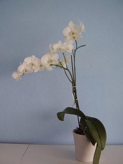 FOTKA - orchidej-