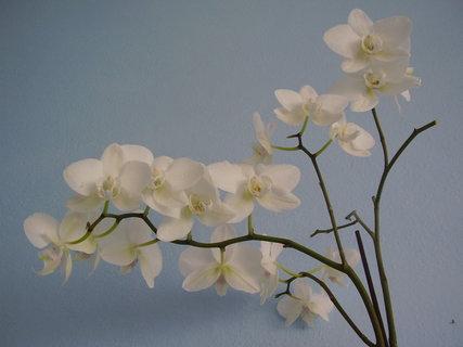 FOTKA - orchidej-.