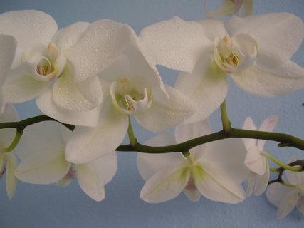 FOTKA - orchidej-..