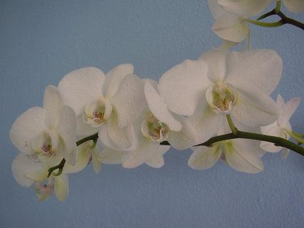 FOTKA - orchidej-...