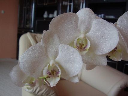 FOTKA - orchidej-......