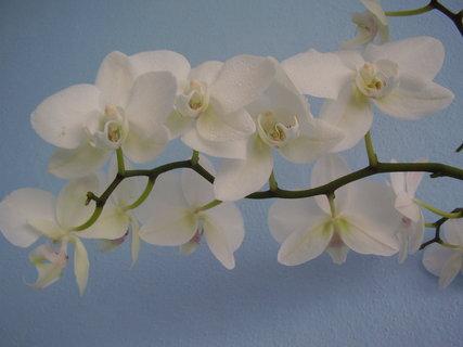 FOTKA - orchidej-.......
