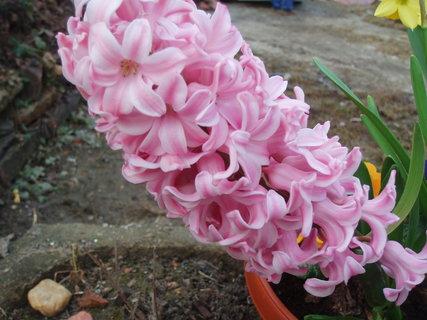 FOTKA - Hyacint -  detail