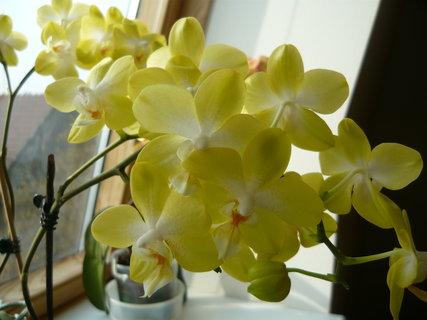 FOTKA - znovu orchidej 4